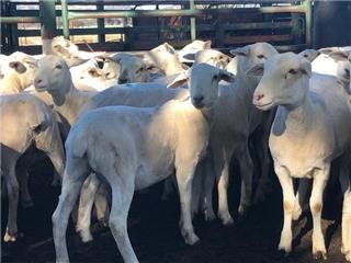20 SIL Ewes