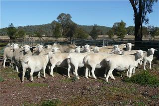 28 Station Mated Ewes