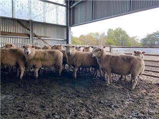 123 SIL Ewes