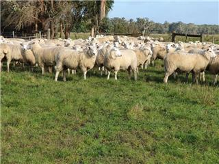 370 SIL Ewe Lambs