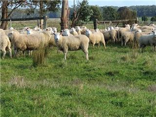220 SIL Ewe Lambs