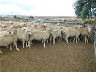 315 SIL Ewes