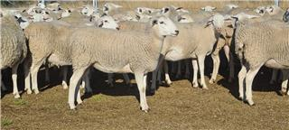 44 Future Breeder Ewe Lambs