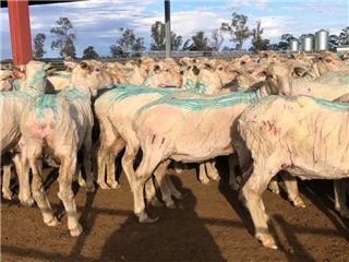 520 SIL Ewes