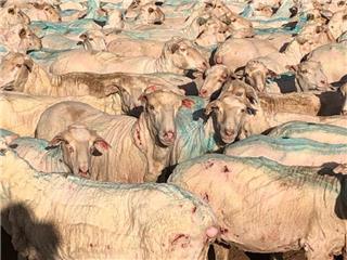 188 SIL Ewes