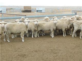 140 SIL Ewes