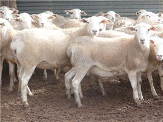 125 Scanned Undetectable Ewes