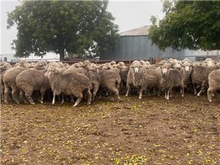 78 SIL Ewes