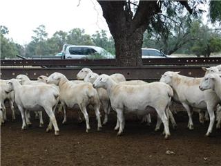 29 SIL Ewes