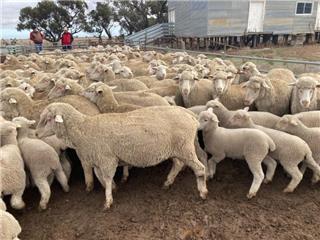 172 NSM Ewes & 214 Lambs