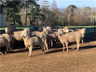 195 SIL Ewes
