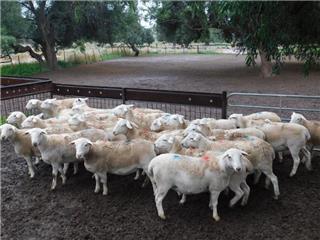26 SIL Ewes