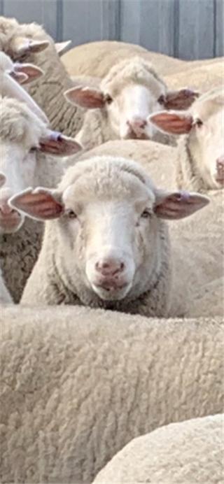 108 SIL Ewes