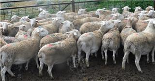 36 SIL Ewes