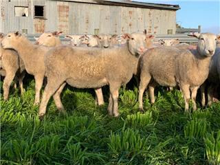 137 SIL Ewe Lambs