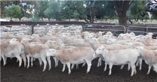 63 SIL Ewes