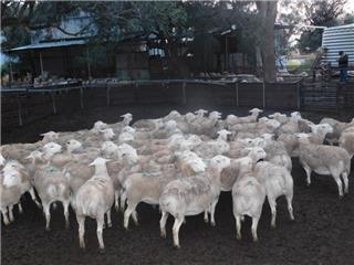 69 SIL Ewes