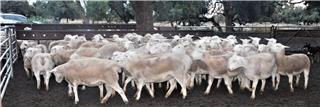 67 SIL Ewes
