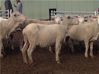 80 SIL Ewes