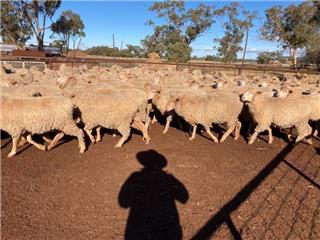151 SIL Ewes
