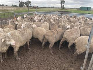 155 Station Mated Ewes