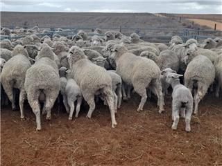 171 NSM Ewes & 183 Lambs