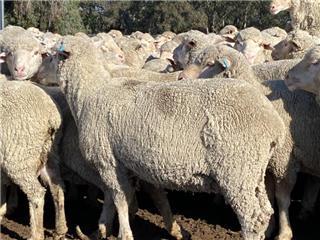 293 Ewes & 370 Lambs