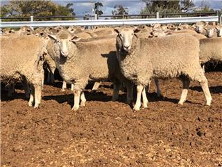 110 SIL Ewe Lambs