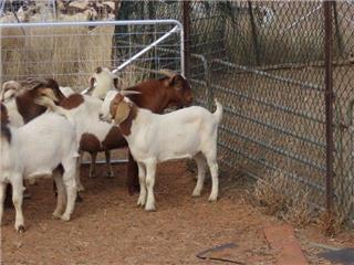43 Goats - Bucks