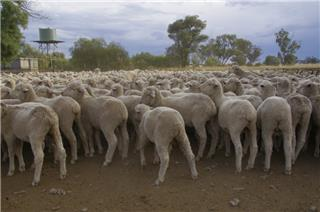 800 Wether Lambs