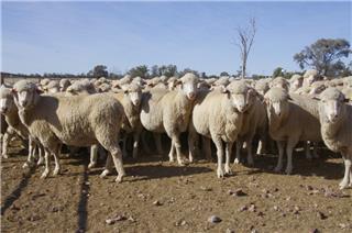 271 SIL Ewes