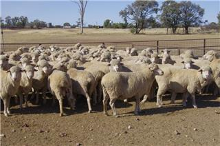 120 Scanned Empty Ewes