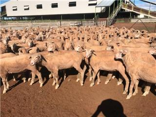 670 Wether Lambs