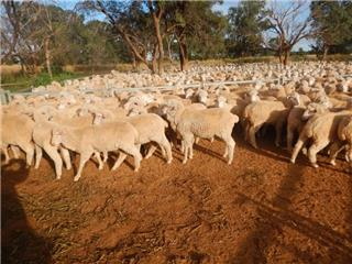 830 Store Wether Lambs