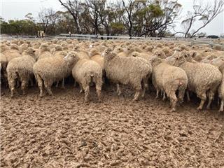 224 SIL Ewes