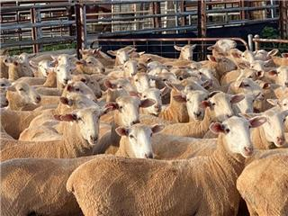 185 Scanned Empty Ewes