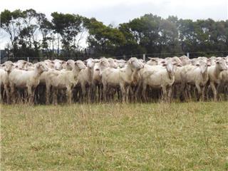 430 Lambs