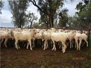 85 SIL Ewes