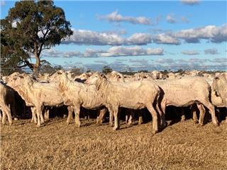 320 SIL Ewes