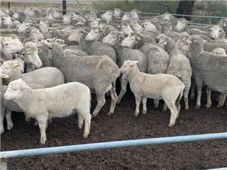 107 Ewes & 114 Lambs
