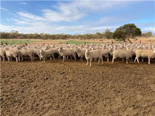 260 SIL Ewes