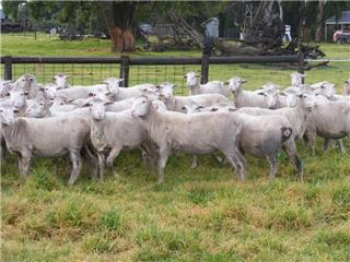 93 Station Mated Ewes