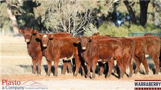 19 NSM Yearling Heifers
