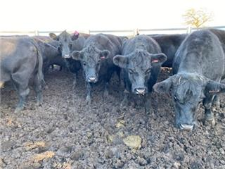 22 PTIC Cows