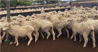 165 Ewes