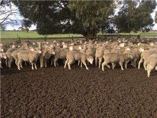 312 SIL Ewe Lambs