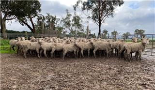 180 Store Wether Lambs
