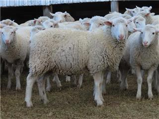 250 Store Wether Lambs