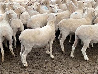 250 SIL Ewe Lambs