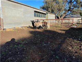 5 Future Breeder Ewe Lambs